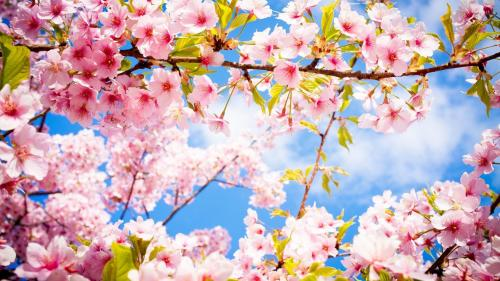 pink-blossoms-in-the-spring-53132-1920x1080