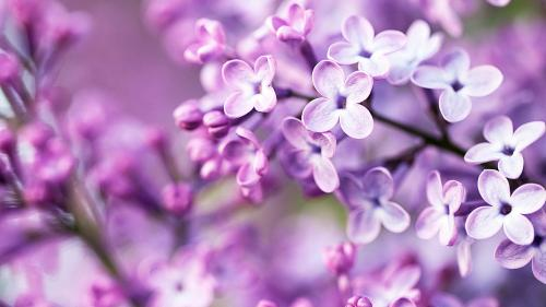 915-spring-purple-flowers-hd-image-free-wallpaper